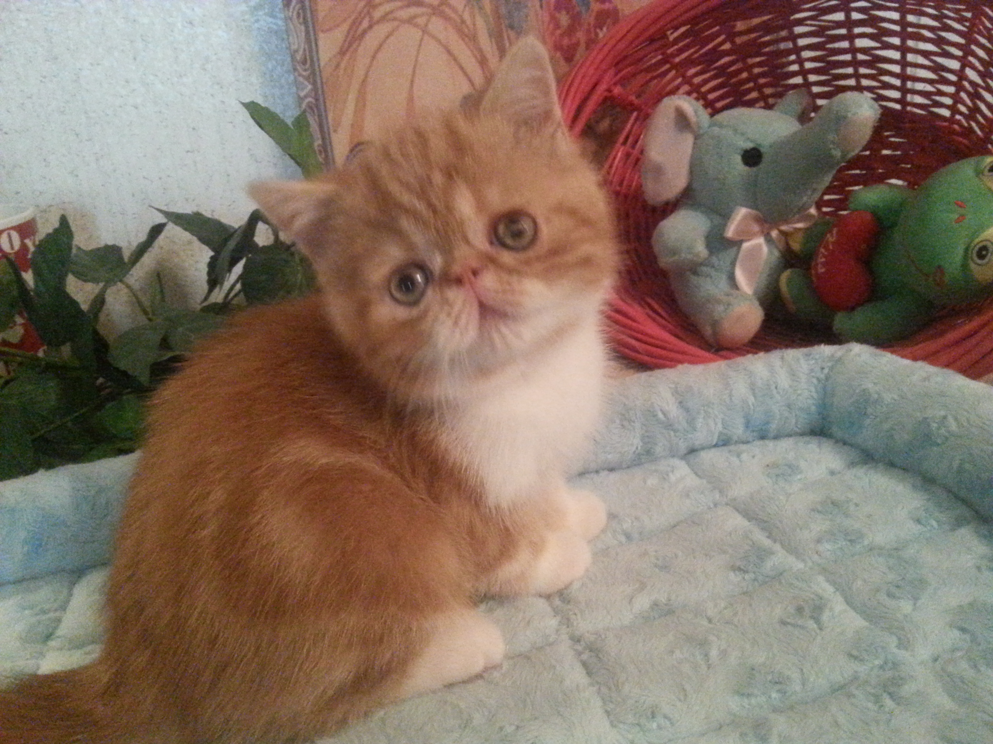 CFA registered Kittens available at Exotic Kit Cats